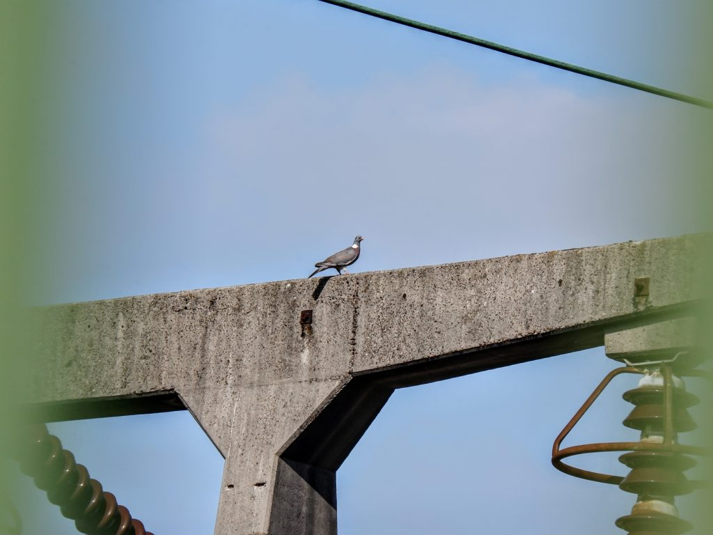 Wood pigeon on a power station