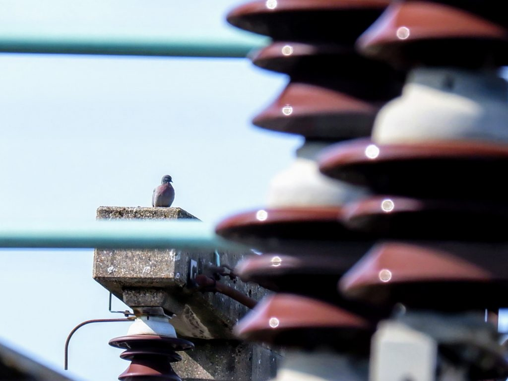 Stock dove on a power station