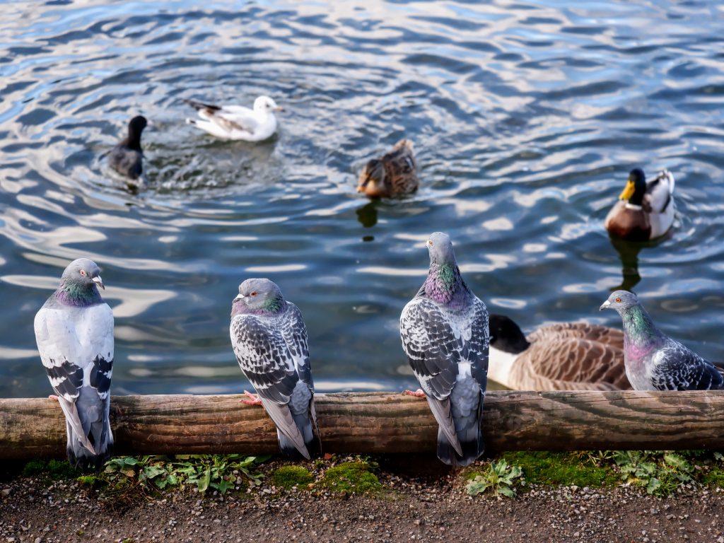 Feral pigeons in Chorlton Water Park