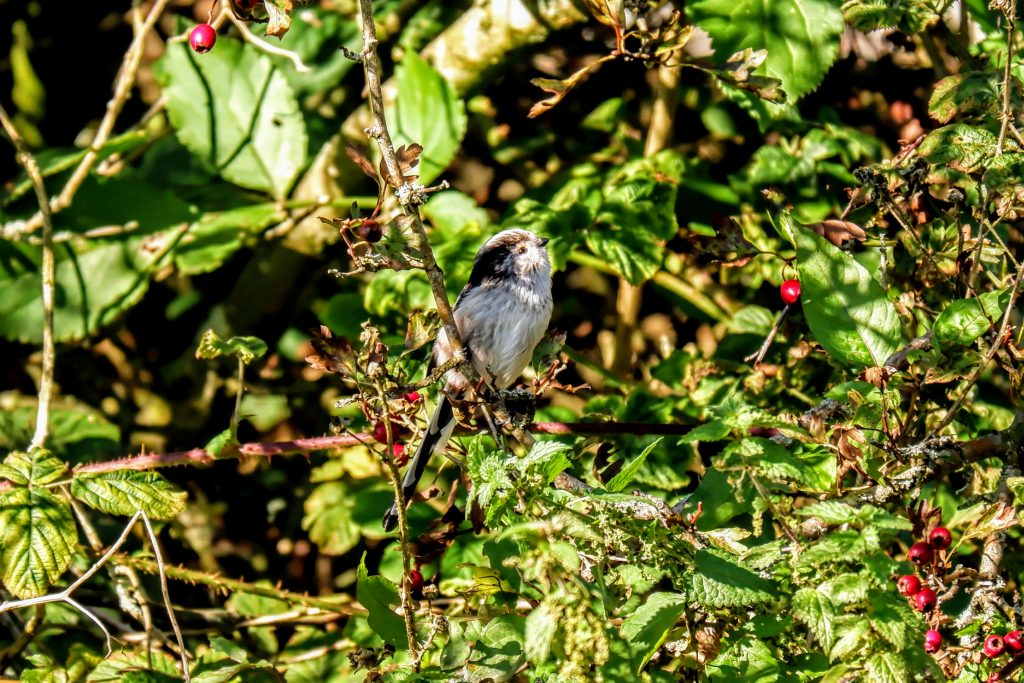 Long-tailed tit, Stretford Ees, Manchester