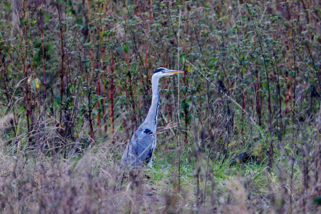 Grey heron, Stretford Ees, Manchester