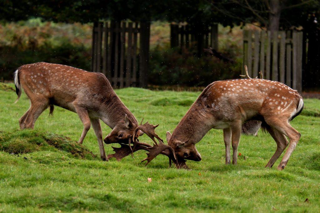 Fallow deer stags rutting at Dunham Massey