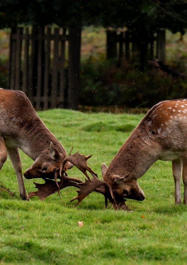 Deer rutting and birdwatching at Dunham Massey