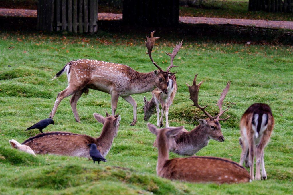 Fallow deer stag defending his mate at Dunham Massey