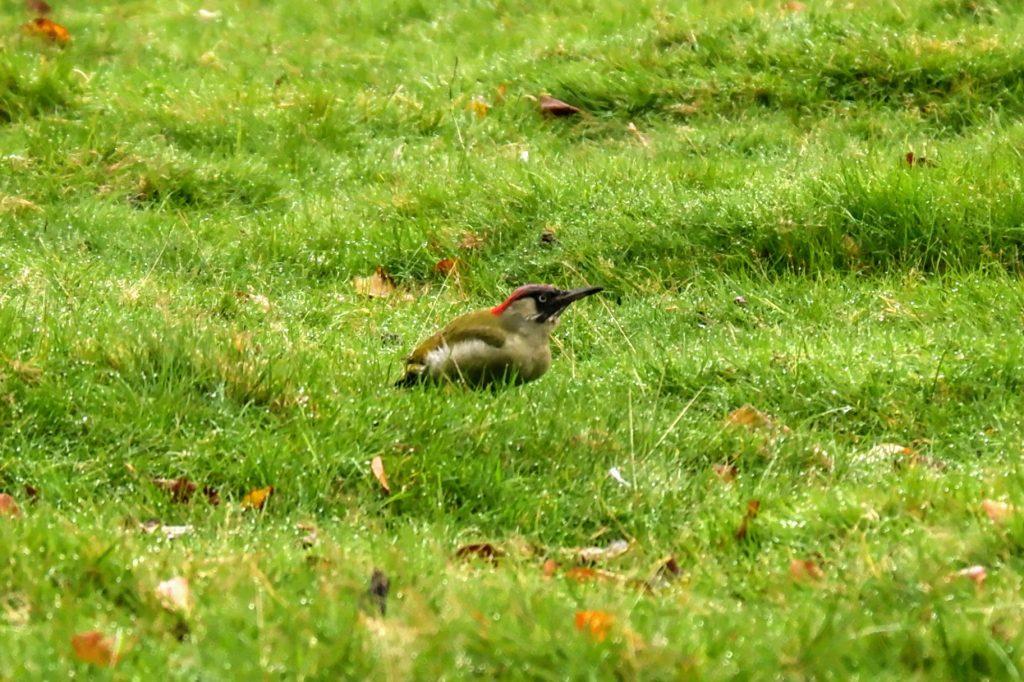 Green woodpecker, Dunham Massey