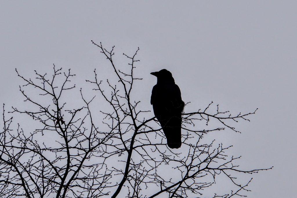 Raven at Dunham Massey