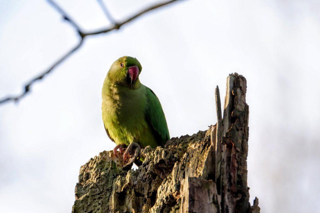 Ring-necked parakeet, Fletcher Moss Park, Didsbury